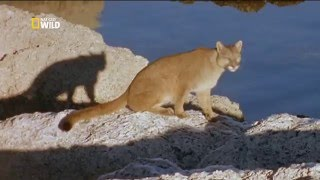 Пума: лев Анд - Puma: lion of the andes