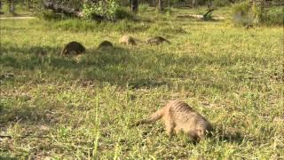 Гангстеры дикой природы - Мангусты