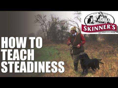 Gundog training – Steadiness