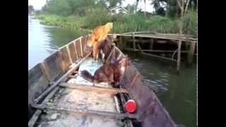 preview picture of video 'Fisherman Cats in Tapee river. Them finish job back to my home'