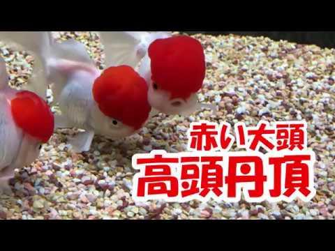 【金魚】真っ赤な頭のリーゼント!高頭丹頂