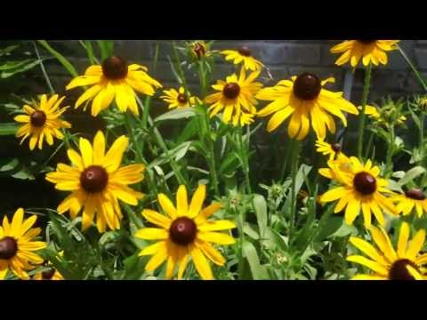 39 Seconds of Rudbeckia Goodness, One Flying Bug & Birdsong - Relax. Breathe. Nature.