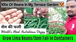 How To Grow Lima Bean / Sem Fali In Containers : With Full Updates And Care Tips