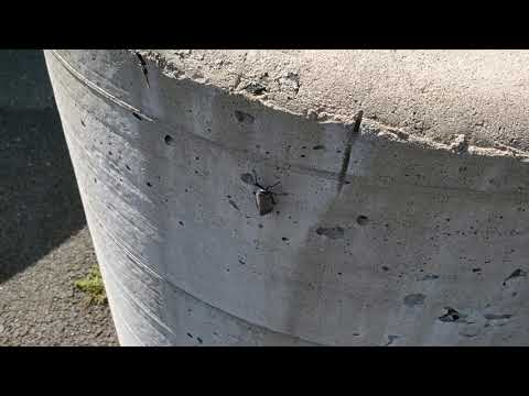 Heavy Spotted Lanternfly Infestation in...