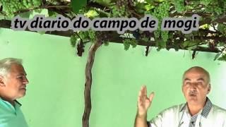 422 ) – VIDEIRA DE UVA BORDO DE PE FRANCO COM SEIS ANOS DE IDADE COM  MAIS DE 900 CACHOS – SP SP