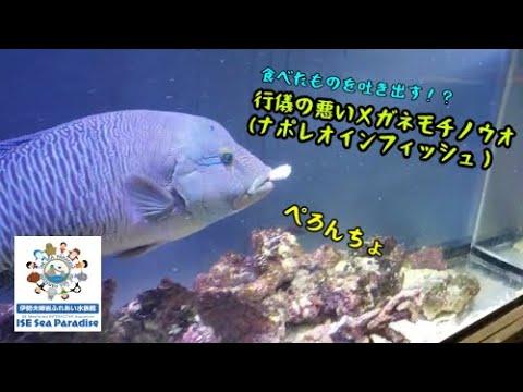 【ナポレオンフィッシュ】食べ方が汚いナポレオンフィッシュ(伊勢シーパラダイス)