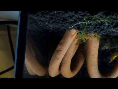Die Nelke das Mittel gegen die Parasiten