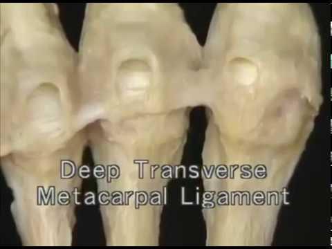 1.3.2 кости и суставы запястья и кисти (3.24)