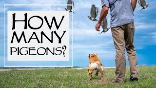 You Asked We Answered - How Often Should You Run Your Dogs On Pigeons - Episode 35: Part 2