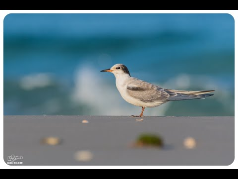 סרטון שמציג את עופות המים של ישראל