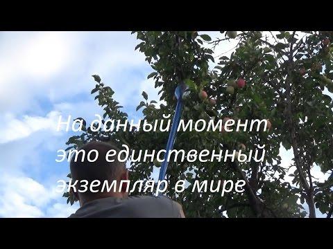 Как сделать удобное приспособление для сбора яблок