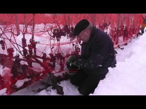 I vini eroici in val di Susa: il vino del ghiaccio (vendemmia 2014)