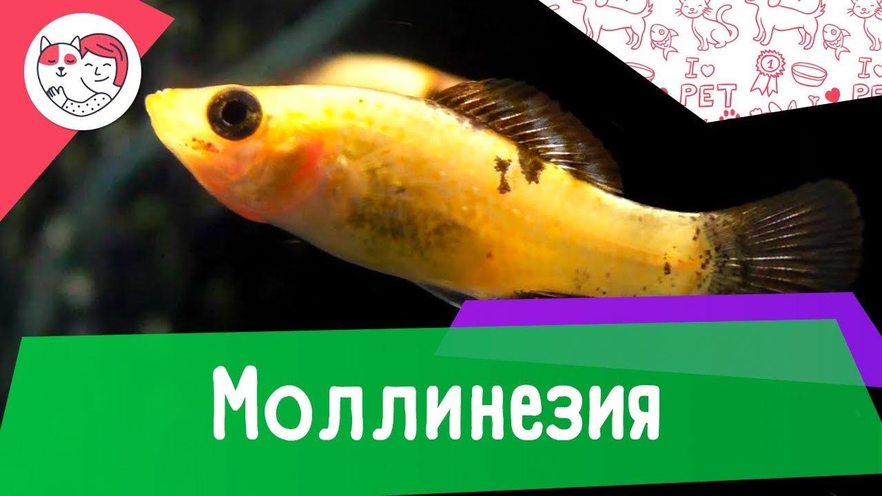 Аквариумная рыбка моллинезия. Особенности. Уход.