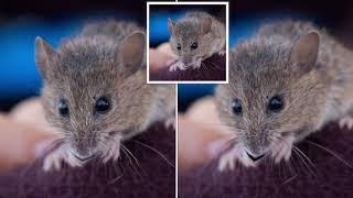"Endangered Entreaty: Salt Marsh Harvest Mice Sing ""Auld Lang Syne"""