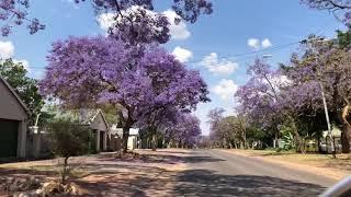 Local & healthy living in South Africa---Jacaranda