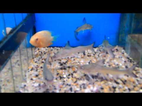 Jornadela ou Bagre Americano em Lilica Fish Room.