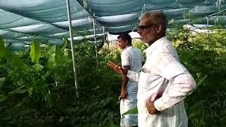 ZBNF Banana , Drumstick By Sharanagouda Patil 7019872375