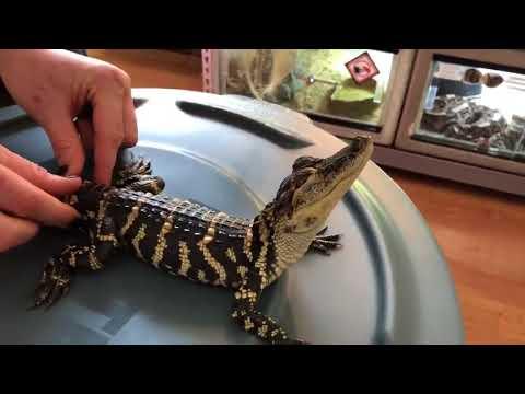 Крокодил, который очень любит ласку