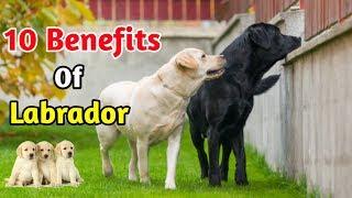 10 Benefits Of Labrador / In Hindi / benefits of Labrador retriever