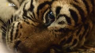 Так мучительно больно,уходят из жизни,величественные тигры...