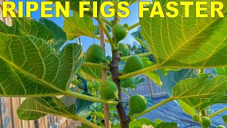 Grow Fig Trees That RIPEN FIGS FASTER With Three Simple Tricks