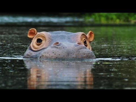 Špiónský hroch našel rybí lázně