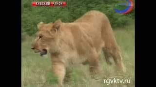 В Дагестане львица охраняет стадо овец