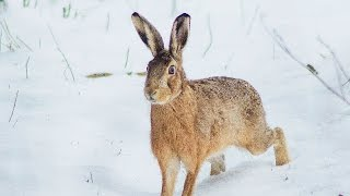 Tavşan Avı 2015 Karda Kopayla - Caccia alla Lepre, Lievre, Hare