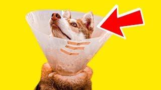 БУБЛИКУ ПОРВАЛИ УХО!! (Хаски Бандит) Говорящая собака