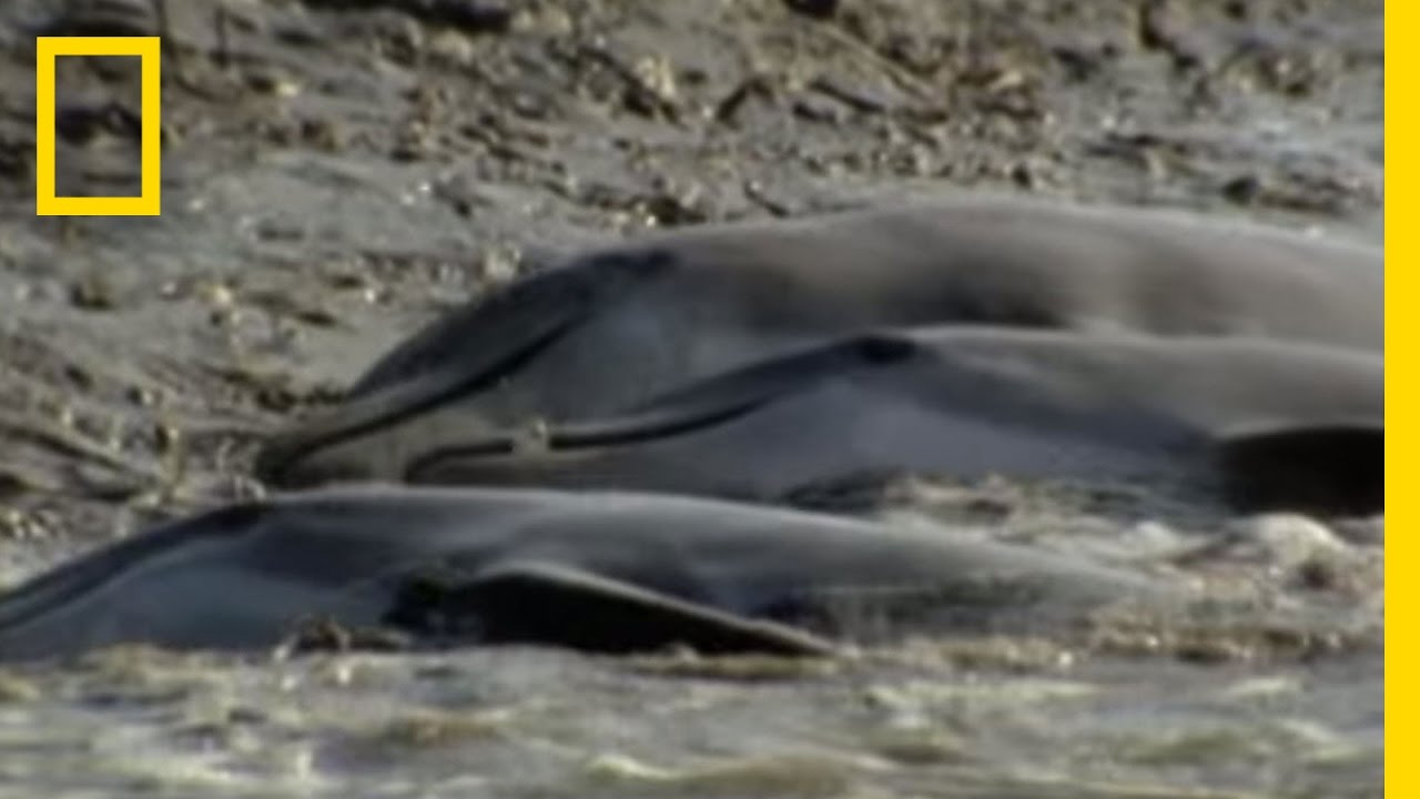 Dolphins Hunt on Sandy Shore | National Geographic thumbnail