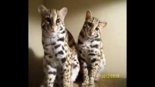 Raising Asian Leopard Cats, ALC's