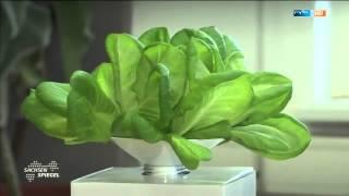 Der Salat von der Fensterbank
