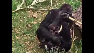 Нидерландская горилла родила близнецов (новости)