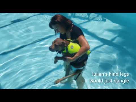 Julian!  Partially disabled, an adoptable Feist & American Bulldog Mix in St. Petersburg, FL
