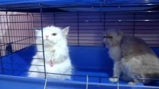 قطط للبيع شيرازي مون فيس واحة الريم