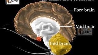 Central nervous system - Biology