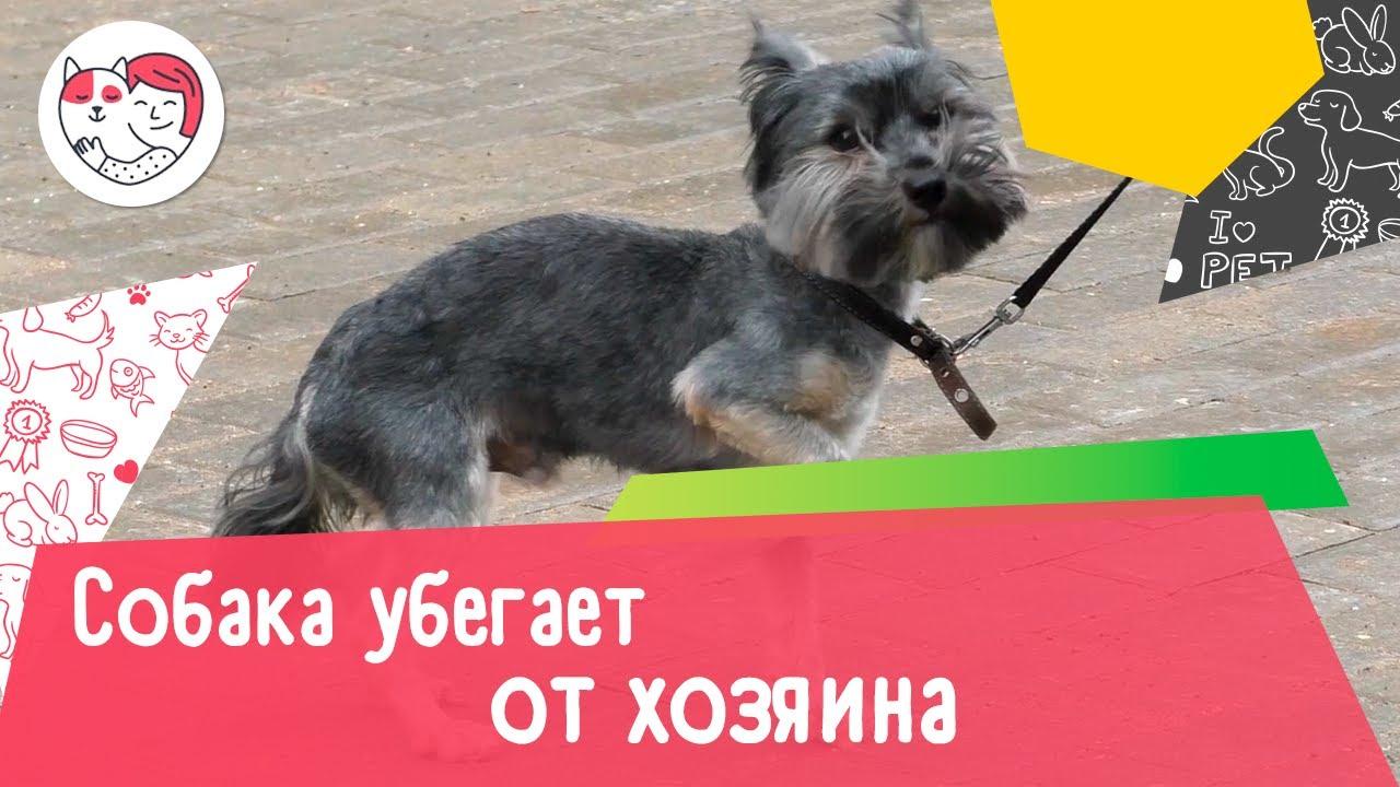 Почему собака убегает от хозяина на прогулке: 4 причины