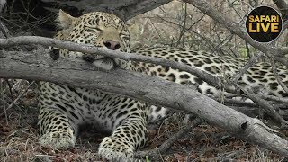 safariLIVE - Sunrise Safari - November 10, 2018