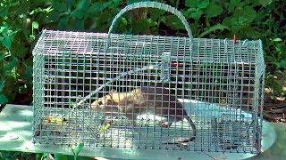 Как поймать крысу в крысоловку
