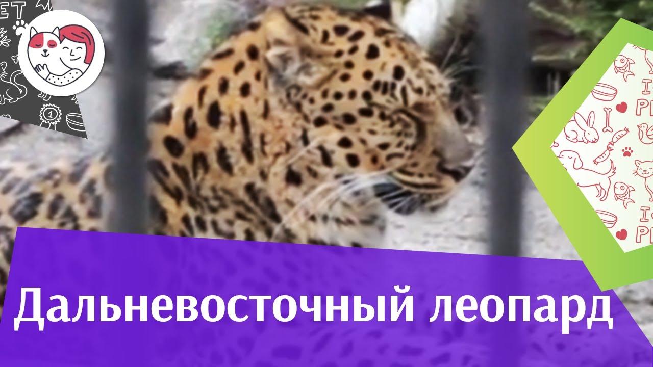 Дальневосточный леопард Размножение на ilikepet