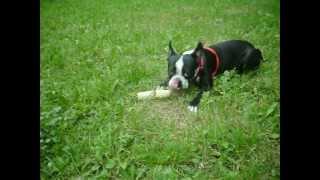 супер собака -бостонский терьер