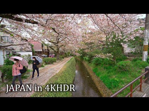 【4K HDR】Kyoto Philosopher's path with sakura
