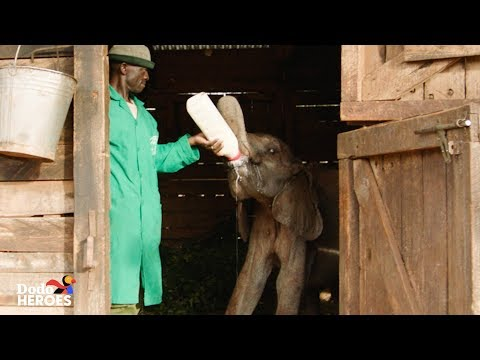 Baby Elephant Orphan is Raised by the Best Human Friends | The Dodo Heroes Season 2