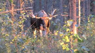 Moose Safari in autumn