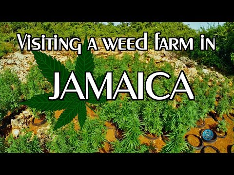Weed Farm JAMAICA