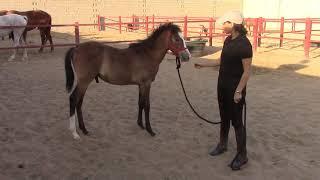 Halter Breaking a Foal