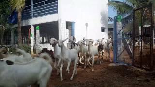goat farming in tamilnadu coimbatore - TH-Clip