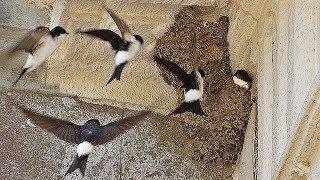 House Martin Bird Nest at Trelissick Gardens - Housemartins
