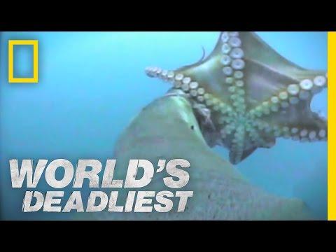 Lachtan šedý versus chobotnice