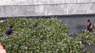 Melihat Penanaman Eceng Gondok di Kali Phb Taman BMW, Sebelum Nantinya Ditanam di Kali Sentiong